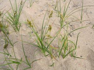 Растение прибрежных дюн - осока песчаная (фото автора)