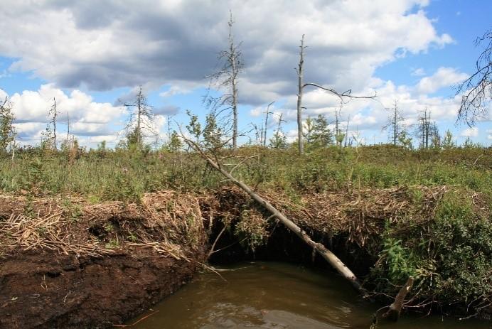 Рис. 1А. Сплавинный тип берега на севере Сестрорецкого Разлива: сплавинный торфяной размываемый тип