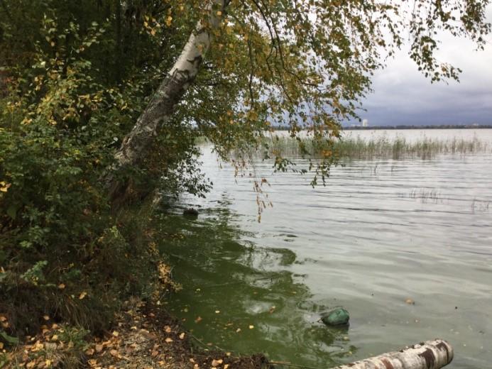 Рис. 4 А. Абразионный моренный тип берега: подмыв корней деревьев и их обрушение