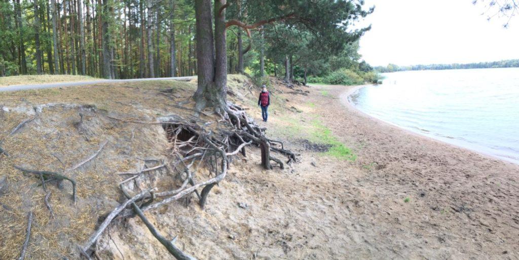 Рис. 5. Абразионный тип берега: размыв и дефляция корней деревьев вблизи с асфальтированной дорожкой
