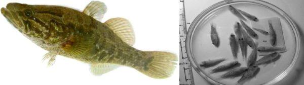 Рисунок 5. Дальневосточный ротан-головешка Perccottus glenii Слева – взрослая особь, справа – сеголетки из Невской губы (фото А.Е. Анцулевича), распространившийся на мелководьях вдоль побережья Невской губы и в восточной части Финского залива. При своем вселении ротан полностью меняет облик рыбных сообществ и, таким образом, трофические цепи в водоемах.