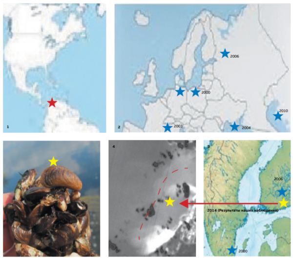 Рисунок 16. Mytilopsis leucophaeata Левый снимок – общий вид друзы. Ведет свое происхождение из солоноватых прибрежных вод Центральной Америки (карта 1), имеет почти двадцатилетнюю историю расселения в европейских прибрежных и внутренних водах (карта 2), в Балтийском море впервые обнаружен в 2000 году в относительно теплых солоноватых водах южной Балтики (Германия). В 2006 году найден в составе обрастания вблизи атомной станции в пос. Ловииза (Финляндия), в 2014 году – в Копорской губе (карта 3), где пока распространен в зоне воздействия шлейфа отепленных вод, преимущественно между мысами Устинский и Дубовской (4 – обзорный космический снимок в инфракрасном диапазоне). Включен в число потенциальных вселенцев на акваторию Курортного района при условии дальнейшего потепления климата.