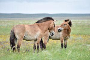 Оренбургский заповедник, участок «Предуральская степь», лошади Пржевальского; Оренбургская область (фото Н. Судец)