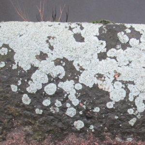 Рисунок 6. Биодеструкция гранита. Обрастание гранита лишайником из семейства Physciaceae