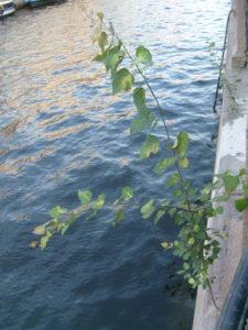 Рисунок 7. Биодеструкция гранита. Древесное растение Betula sp. на граните