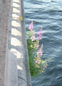 Рисунок 8. Биодеструкция гранита. Растение Chamaenerion angustifolium (L.) Scop. на граните