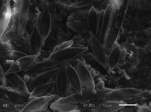 Рисунок 4. Биодеструкция гранита. Клетки диатомовых водорослей на поверхности гранита. Сканирующая электронная микроскопия
