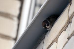 Полевые воробьи с удовольствием утстраивают гнезда в пустотах под наличником окон