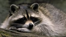 www.GetBg.net_Animals_Cute_pet_raccoon_108751_