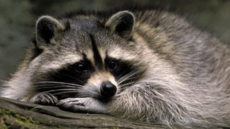 www.GetBg.net_Animals_Cute_pet_raccoon_108751_