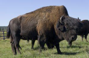 Бизоны в питомнике «Усть-Буотама»