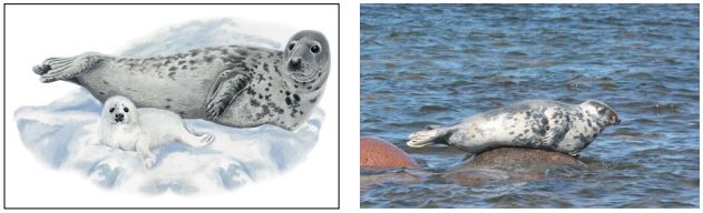 Балтийский серый тюлень. Рисунок А.А. Мосалова. Фото М.В. Веревкина