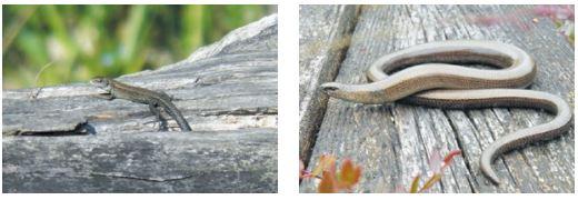 Живородящая ящерица (слева) и веретеница. Фото К.Д. Мильто