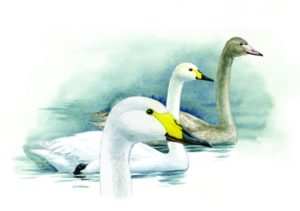 Малый лебедь. Рисунок Е.А. Коблика