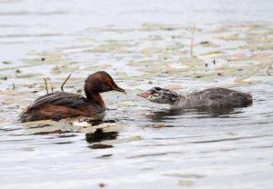 Красношейная поганка с птенцом. Фото В.Г. Покотилова