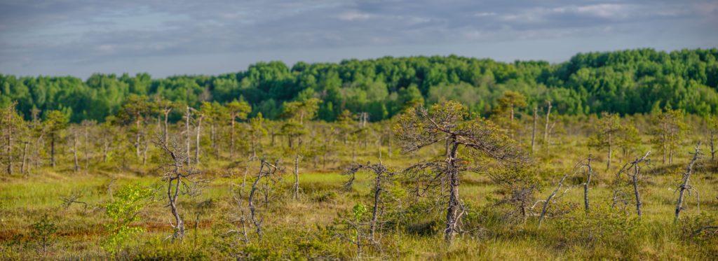 Низкорослые сосны (болотная форма) в центре болота. Фото А.В. Ладыгина