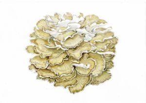 Грифола курчавая (гриб-баран). Рисунок А.Б. Николаева