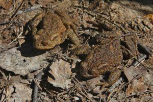 Мигрирующие серые жабы. Фото Е.А. Усова