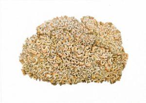 Спарассис курчавый (грибная капуста). Рисунок А.Б. Николаева