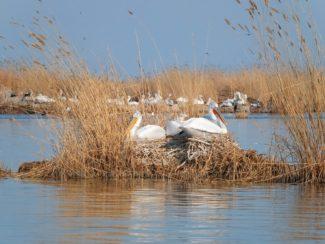 Колония кудрявых пеликанов в Кизлярском заливе Г. Джамирзоев