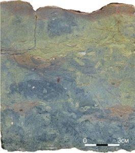 Рисунок 11. Текстура биотурбации в пестром глауконитовом известняке леэтсеской свиты долины реки Поповки. Хорошо заметны срезы члеников иглокожих (белые пятна) и трилобитов (вытянутые, неровные серые полоски). Пришлифованный образец