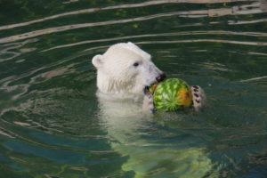 Белая медведица Хаарчаана очень любит арбузы