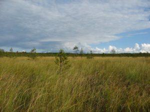 Большое Марково болото (планируемая ООПТ «Левашовский»). Фото Г.А. Исаченко